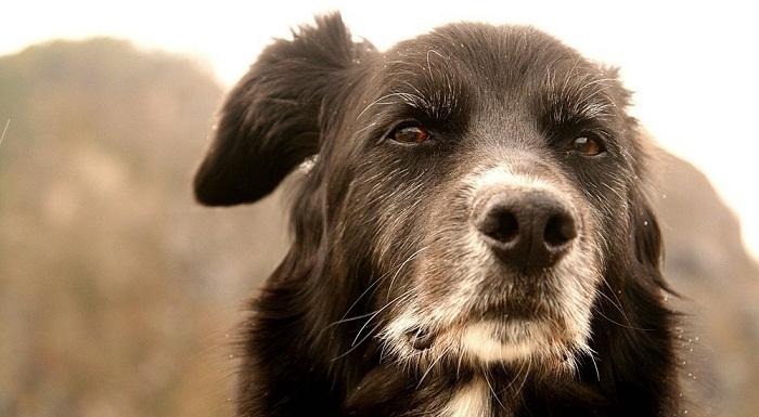 Je me souviens de mon vieux chien qui passait son temps dans son panier à surveiller l'entrée
